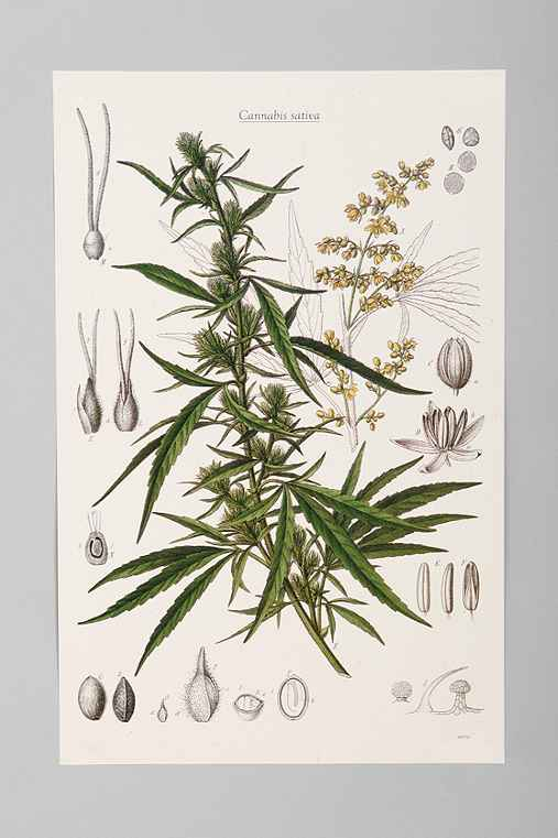 Cannabis Botanical Poster
