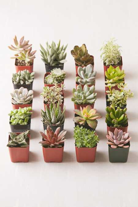 Assorted 2 Live Succulents - Set of 20
