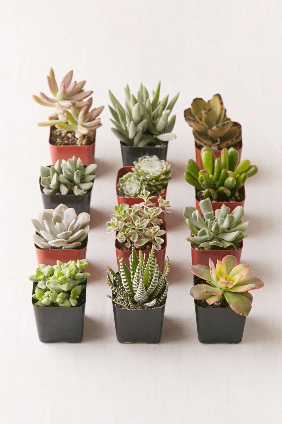 "Slide View: 1: Assorted 2"" Live Succulents - Set of 12"