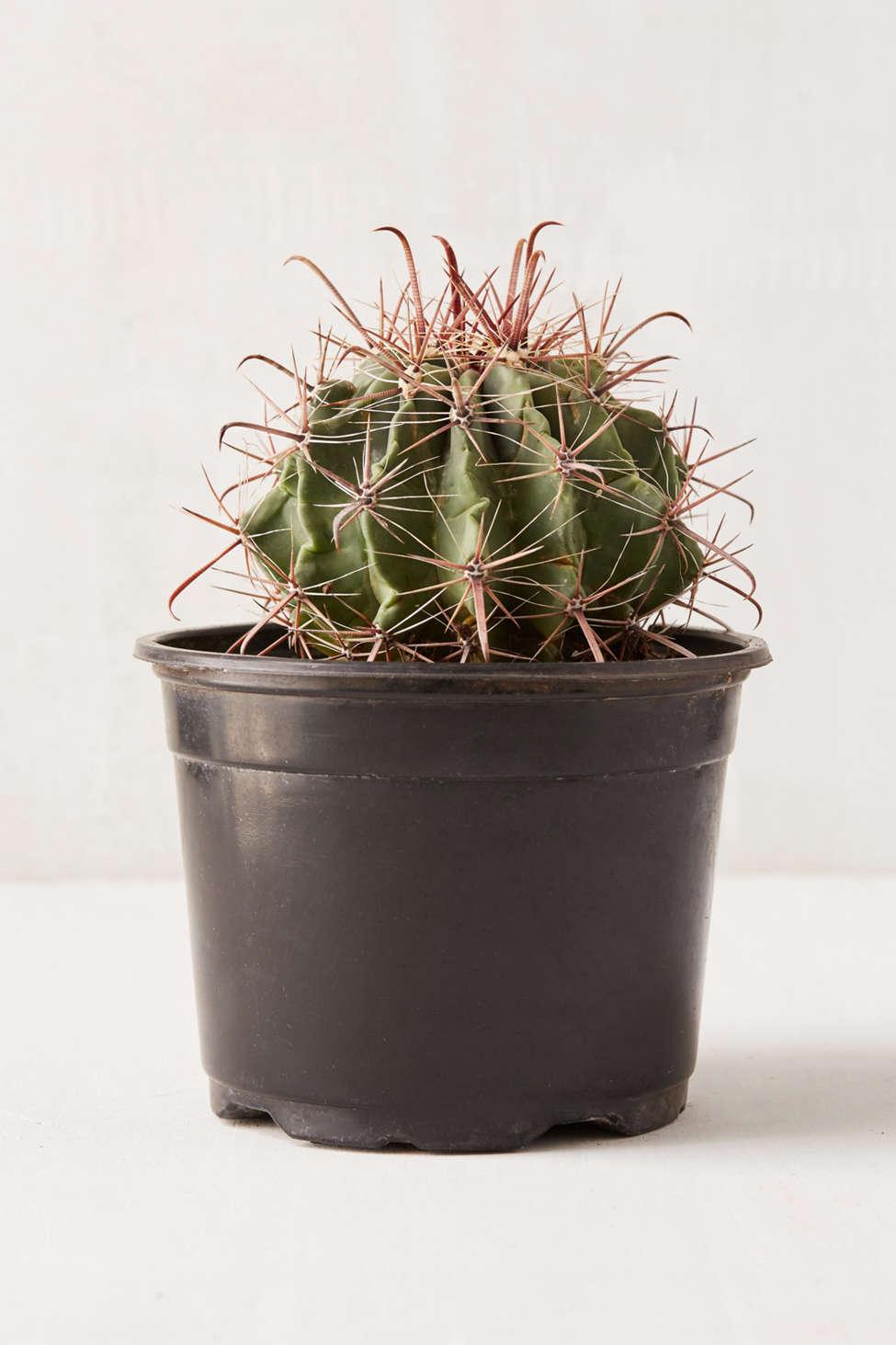 "Slide View: 1: 6"" Live Cactus"