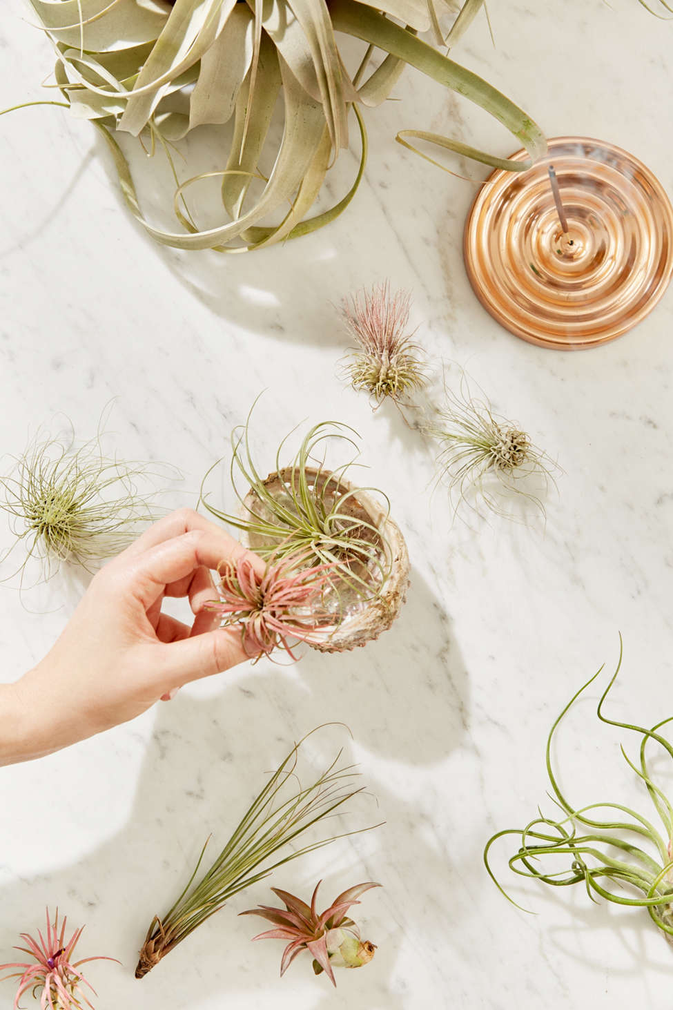 Slide View: 1: Small Live Assorted Air Plant - Set of 12