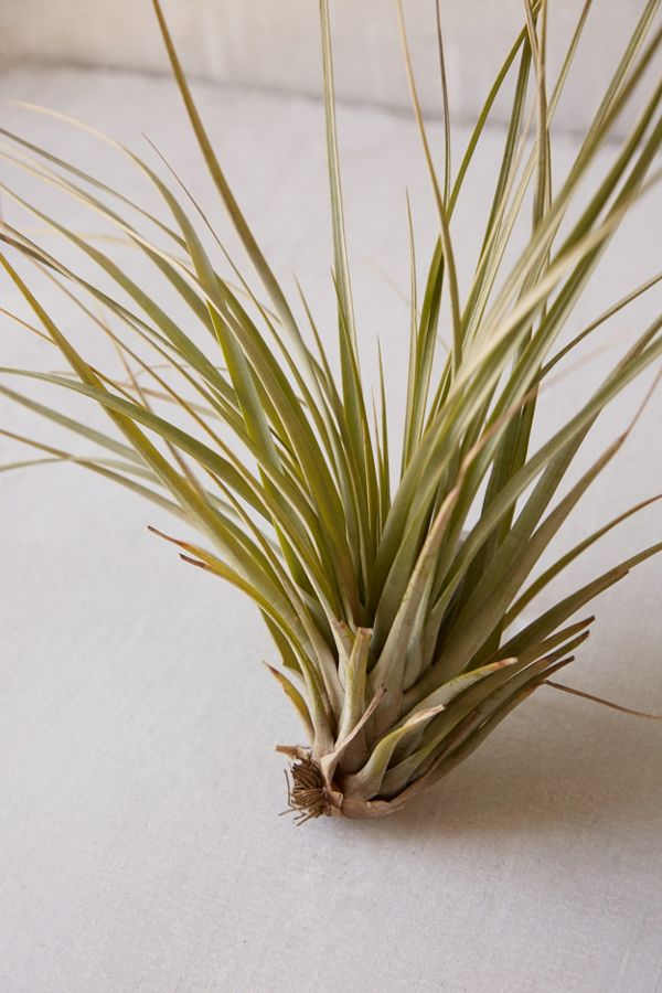 Slide View: 2: Giant Live Air Plant